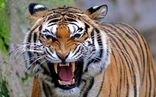 Mơ thấy hổ gầm nhiều tiếng báo hiệu sự may mắn.
