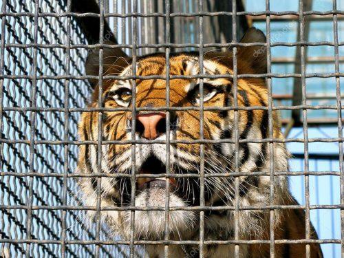 Mơ thấy hổ bị giam trong lồng cho thấy bạn đang nhiều phiền muộn mà không có ai để giãi bày.