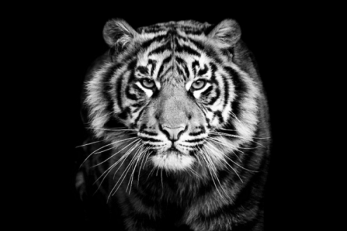 """Mơ thấy hổ – """"Kẻ săn mồi khét tiếng"""" báo hiệu gì qua những giấc mơ?"""