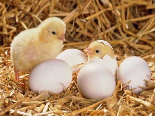 Mơ thấy gà và những điềm báo may rủi