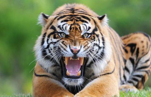 Hổ là loài vật to lớn và linh thiêng.
