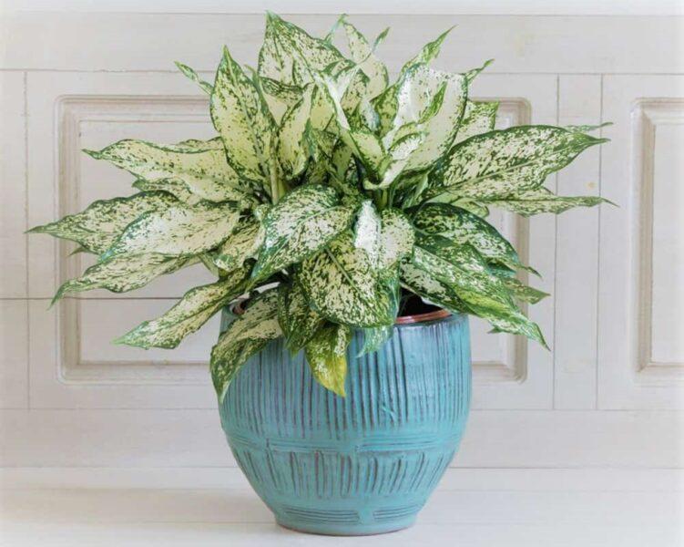 Ngọc ngân là cây phong thủy được du nhập từ các nước Đông Nam Á